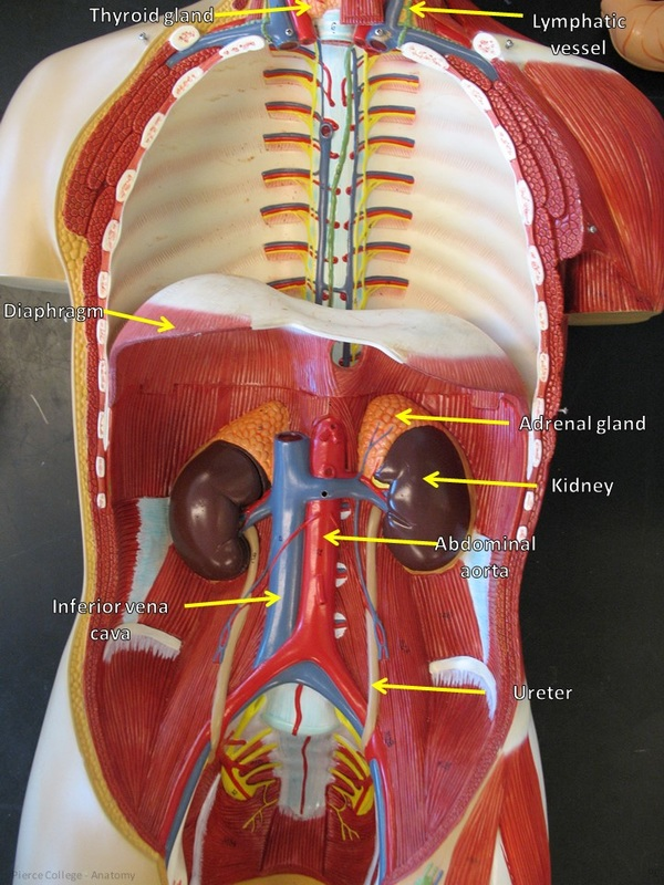 Torso Model Altay Pierce College Anatomy